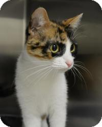 Calico Cat for adoption in Jacksonville, Arkansas - Brigett