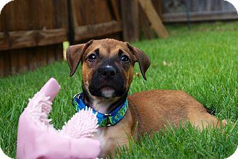 Mastiff/Labrador Retriever Mix Puppy for adoption in CHAMPAIGN, Illinois - FRED