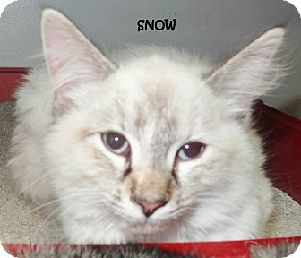 Maine Coon Cat for adoption in Lapeer, Michigan - SNOW---GORGEOUS WHITE BABY!