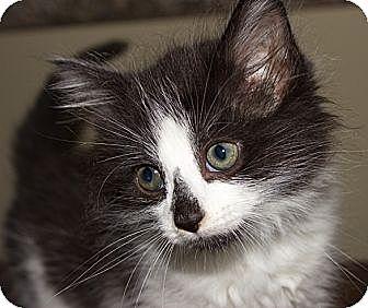 Domestic Longhair Kitten for adoption in Germantown, Maryland - Rock