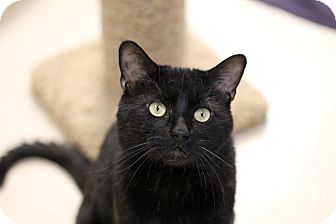 Domestic Shorthair Cat for adoption in Chicago, Illinois - Everett