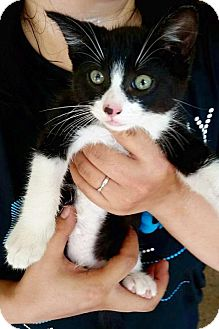American Shorthair Kitten for adoption in Atlanta, Georgia - Munchkin