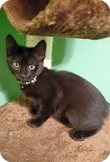 Domestic Shorthair Kitten for adoption in Knoxville, Tennessee - Bop
