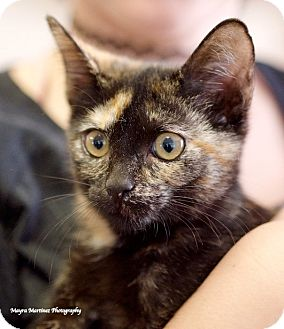 Domestic Shorthair Kitten for adoption in Knoxville, Tennessee - Tawny