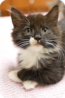 Domestic Longhair Kitten for adoption in Montclair, New Jersey - Betty