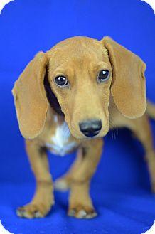 Dachshund Mix Puppy for adoption in LAFAYETTE, Louisiana - KAI