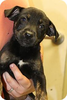 Retriever (Unknown Type) Mix Puppy for adoption in Cleveland, Mississippi - WALLY