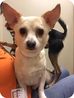 Chihuahua Mix Dog for adoption in Plymouth Meeting, Pennsylvania - Snoopie