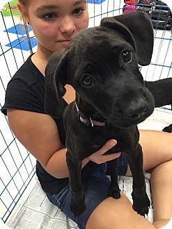 Labrador Retriever Mix Puppy for adoption in Patterson, New York - Ethel