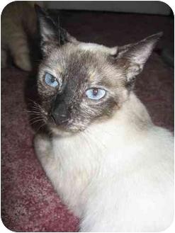 Siamese Cat for adoption in Farmington, Michigan - Ashes: Purebred