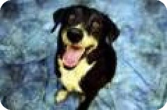 Shepherd (Unknown Type) Mix Dog for adoption in Fort Smith, Arkansas - Ben