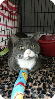 Domestic Shorthair Cat for adoption in Acushnet, Massachusetts - Lilah