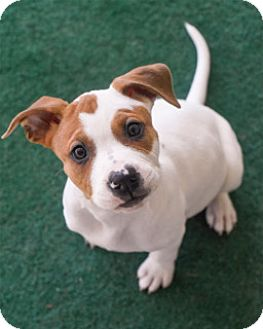American Bulldog/Boxer Mix Puppy for adoption in Nashville, Tennessee - Mac