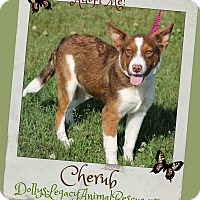 Adopt A Pet :: CHERUB - Lincoln, NE
