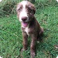 German Wirehaired Pointer Mix Puppy for adoption in Sagaponack, New York - Cleve
