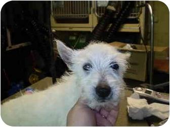 Westie, West Highland White Terrier Puppy for adoption in Westport, Connecticut - Spicy
