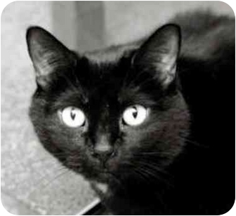 Domestic Shorthair Cat for adoption in Chicago, Illinois - Sugar