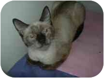 Siamese Cat for adoption in Arlington, Virginia - Aurora