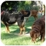 Photo 4 - Rottweiler/Labrador Retriever Mix Dog for adoption in Phoenix, Arizona - HERSHEY