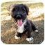 Photo 2 - Havanese/Jack Russell Terrier Mix Puppy for adoption in Dallas/Ft. Worth, Texas - Courtney