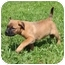 Photo 4 - Labrador Retriever/Boxer Mix Puppy for adoption in Hagerstown, Maryland - Lemonhead