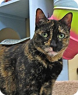 Domestic Shorthair Cat for adoption in Deerfield Beach, Florida - Teeka
