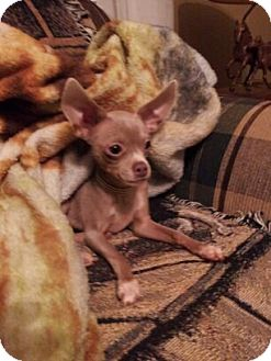Chihuahua Dog for adoption in Baltimore, Maryland - Fival