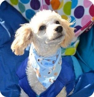 Poodle (Standard) Mix Puppy for adoption in San Diego, California - Alvin