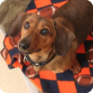 Dachshund Mix Dog for adoption in Naperville, Illinois - Charlie