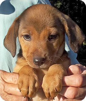 Terrier (Unknown Type, Medium) Mix Puppy for adoption in Groton, Massachusetts - Butterscotch