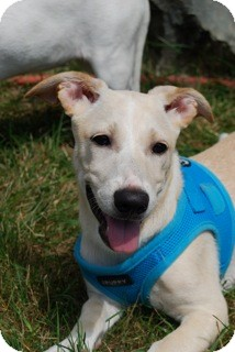 Labrador Retriever/Terrier (Unknown Type, Small) Mix Puppy for adoption in Brooklyn, New York - Missy