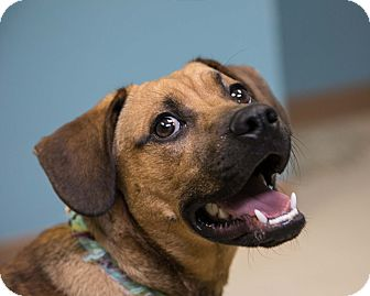 Beagle/Hound (Unknown Type) Mix Dog for adoption in Staunton, Virginia - Conway