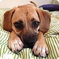 Adopt A Pet :: Cagney - Poway, CA