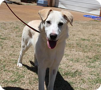 Australian Cattle Dog/Husky Mix Dog for adoption in Stillwater, Oklahoma - Tess