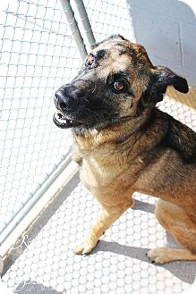 German Shepherd Dog Mix Dog for adoption in Sierra Vista, Arizona - Echo