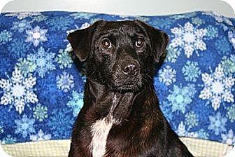 Labrador Retriever/Terrier (Unknown Type, Medium) Mix Dog for adoption in Savannah, Tennessee - Amos