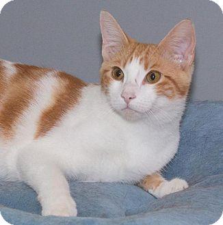 Domestic Shorthair Cat for adoption in River Edge, New Jersey - Sebastian