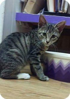Domestic Shorthair Kitten for adoption in Richboro, Pennsylvania - Bitsie