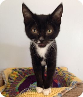 Domestic Shorthair Kitten for adoption in Columbia, South Carolina - Twinks