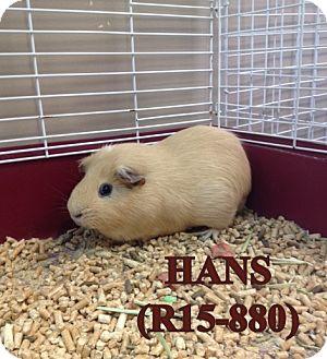 Guinea Pig for adoption in Tiffin, Ohio - Hans