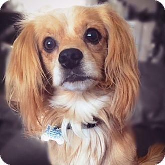 Spaniel (Unknown Type) Mix Dog for adoption in San Diego, California - Xander
