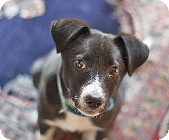 Labrador Retriever/Whippet Mix Dog for adoption in WADSWORTH, Illinois - Echo