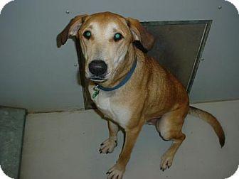 Labrador Retriever Mix Dog for adoption in Olympia, Washington - 43303