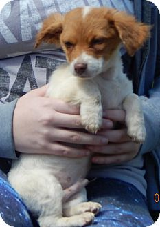 Chihuahua/Terrier (Unknown Type, Small) Mix Puppy for adoption in SUSSEX, New Jersey - Wuzzles (4 lb) Adorable!