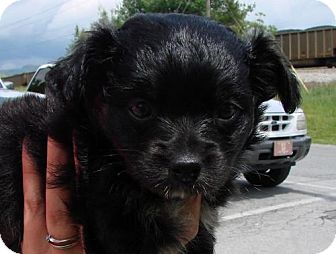 Spaniel (Unknown Type) Mix Puppy for adoption in Erwin, Tennessee - Katie