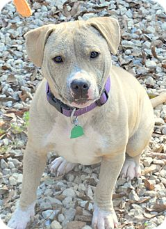 American Bulldog/American Staffordshire Terrier Mix Dog for adoption in Cairo, Georgia - Rosie