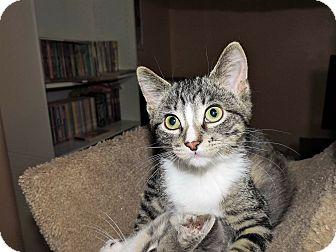 Domestic Shorthair Kitten for adoption in Rochester, Minnesota - Astro