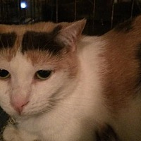 Domestic Shorthair Cat for adoption in Montreal, Quebec - Rosalie
