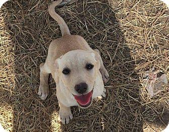 Labrador Retriever Mix Puppy for adoption in Mesa, Arizona - TALASI