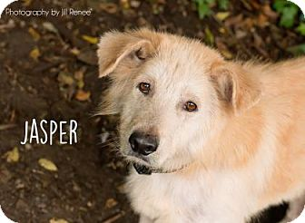 Husky/Golden Retriever Mix Dog for adoption in Denver, Colorado - Jasper
